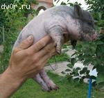 Поросята вьетнамской вислобрюхой травоядной свиньи