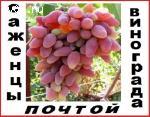 Саженцы винограда 2-х летние корнесобственые 90 десертных комплексно-устойчивых сортов-почтой.
