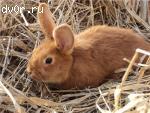 Кролики НЗК (Новозеландский красный)