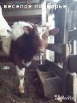 Айрширский бычок продается, Самарская обл.