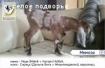 Англо-нубийские козы- продажа в ННов.