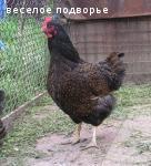 Барневельдер, белефельдер, араукан, минимясная палевая- инкуб.яйцо, цыплята