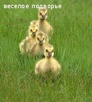 Деревенские гусята