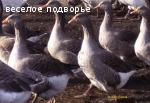 гусята Крупная серая-Борковские(украинская)