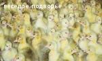 гусята Легарт Датский