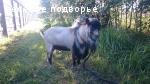 Камерунские карликовые козы- продажа в Москве