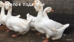 Холмогорские гуси