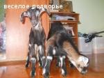 Козочки альпийско-нубийские, Ногинск