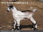 Продается альпийский козлик