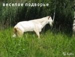 Продаётся зааненский козел