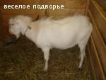 Продаю помесных козлят, Смоленская обл.