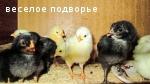 Продаю цыплят, Свердловская обл.