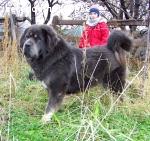 Продаются щенки тибетского мастифа