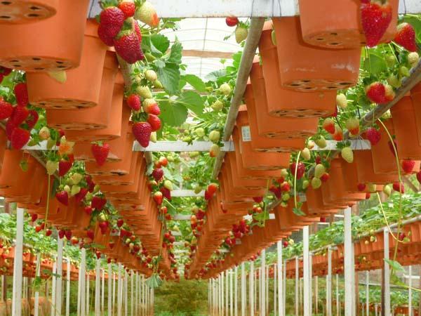 О выращивать клубники в домашних условиях