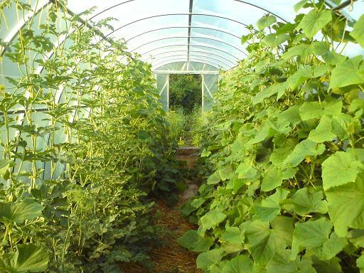 Выращивание дыни в парнике в подмосковье 43