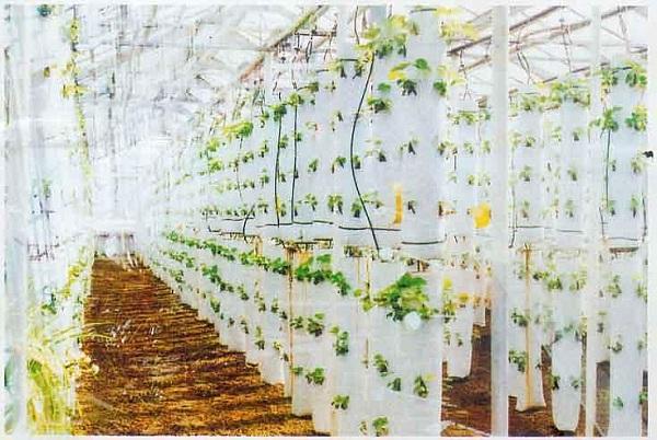 Как сохранить рассаду клубники в подвале 36
