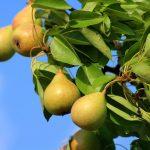5 проверенных способов увеличить урожайность груши