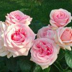 8 лучших сортов роз, которые цветут все лето