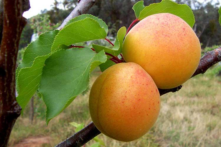 Плод заболевшего абрикоса
